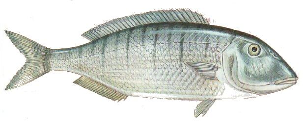poissons ocean atlantique